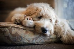 Goldendoodle by aurora Love My Dog, Puppy Love, Cute Puppies, Cute Dogs, Dogs And Puppies, Doggies, Goldendoodles, Cockapoo, Labradoodles