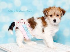 A Morkie is an adorable lifetime friend. Always by your side to bring you joy and happiness! Find your perfect match at Petland Pembroke Pines.