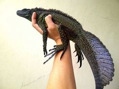The Amboina sail-finned lizard (Hydrosaurus amboinensis). My beautiful future scale-baby Cute Wild Animals, Black Animals, Animals And Pets, Cute Reptiles, Reptiles And Amphibians, Shadow Creatures, Lizard Dragon, Baby Dinosaurs, Bearded Dragon