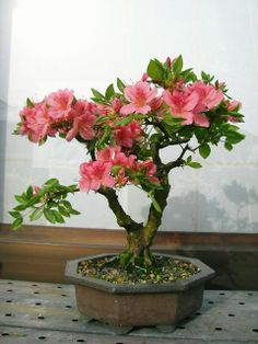 Flowering Bonsai - Azalea
