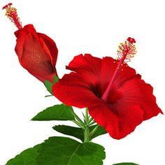 Imágenes de flores y plantas: HIBISCUS