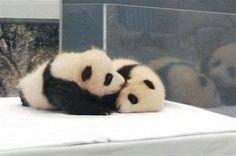 写真 - 和歌山の双子の赤ちゃんパンダ、名前決定 - IBTimes(アイビータイムズ) - 世界の最新ビジネスニュース