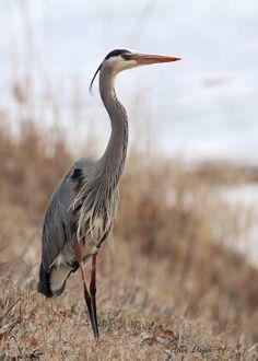 Grand héron / Great Blue Heron                           Beautiful!!