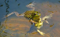 """Comedy Wildlife Photography Awards 2015 """"My head is not a lily pad."""