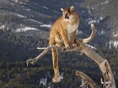 Cougar ... master of the canyon  www.UniverseOfSymbolism.com