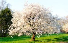 Blooms in spring AND in fall. 20-40 ft heigh x 15-25 ft wide Autumn Cherry Tree on Fast Growing Trees Nursery