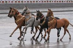 Four Akhal Teke Horses Displaying Their Coolness. They Have Such Strange Beauty. Most Beautiful Horses, All The Pretty Horses, Animals Beautiful, Paint Horse, Horse Art, Clydesdale, Zebras, Akhal Teke Horses, Rare Horses