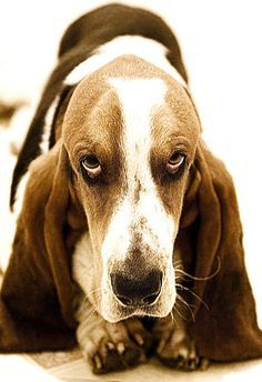 Basset giving the Stink Eye!!