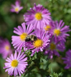 Aster for clay soil.   Astermorgue   Aster (Aster novae-angliae) is a great perennial for the fall garden. Plants range from 1-5 fe...