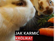 jak karmić królika? Co dawać królikowi do jedzenia?