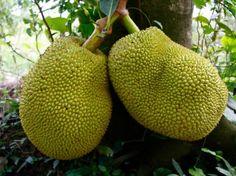 exotisches obst jackbaumfrucht grün