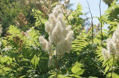 Le Sorbaria Sorbifolia ou le Sorbaire à feuilles de sorbier est un petit arbuste décoratif à croissance rapide, au printemps son joli feuillage apparaît rose crevette pour s'éclaircir et devenir jaune juste avant d'établir son vert tendre qu'il gardera jusqu'à la fin de la saison, en été, ce sont ses fleurs qui le différenciera du sorbier, il s'épanoui en une multitude de panicules coniques blanches qui ressemblent à s'y méprendre à la floraison d'une spirée