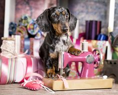 Dachshund dog in a tie and sewing machine #dachshundlife #dachshundoftheday #dachshundpuppy #dachshund