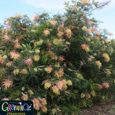 47 Australian Native Shrubs Ideas Shrubs Australian Native Plants Plants