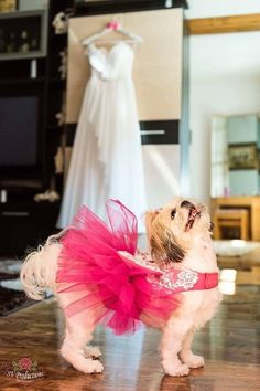 Festive tutu dress for dogs with a back length - max 45 cm. It is made of fine fabric , lace and tulle. Available in the following combinations: red burgundy + champagne lace; dark pink + white lace; light pink + ivoire lace. Skay to abdomen and neck base. For order is necessary to