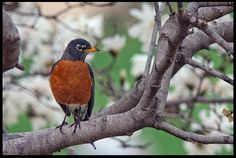 """Visual #BibleVerseoftheDay: Psalm 105:1-2 and a Robin in Blossoming Magnolia, Bellevue, Nebraska.  """"Oh give thanks to the LORD, call upon His name…"""" CLICK THE PHOTO to be blessed with the complete passage. http://visualverse.thecreationspeaks.com/speak-of-his-wonders/"""