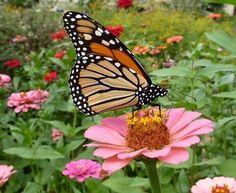 Google Image Result for http://www.bellwebs.com/~garden/Monarch_Zinnia_100925_0926_2.JPG