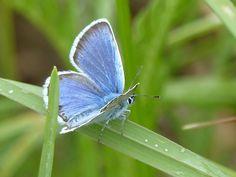 Amanda's blue, Rabivere Bog, 03/Jul/2016.