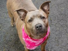 URGENT! THIS DOG WILL BE EUTHANIZED UNLESS A HOLD IS PLACED ON HER BY NOON EST 6/19/14.  LOG IN TO THE AT RISK LIST TO PLACE A HOLD AND SAVE A LIFE.  http://www.nycacc.org/PublicAtRisk.htm  Manhattan Center  My name is NAHLA. My Animal ID # is A1002828. I am a female br brindle and white pit bull mix. The shelter thinks I am ...