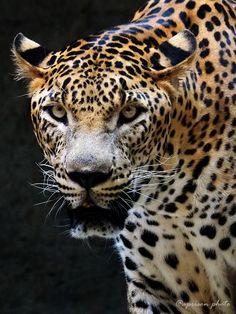 Leopard by aprison aprison on 500px