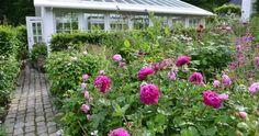 Lige nu blomstrer både pæoner og roser om kap. Det vil sige, at pæonerne inden længe takker af, mens roserne når deres klimaks i løbet af en...
