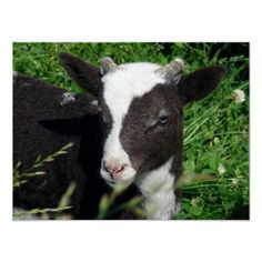 Amy's Lamb Poster