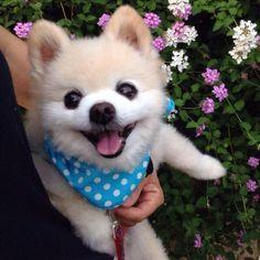 Meet Shunsuke, a happy little Pomeranian living in Japan.