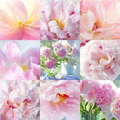 Peony Photographic Mosaic of Still Life Photos Pink by JudyStalus