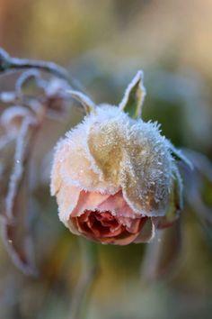Raindrops and Roses : frozen rose Frozen Rose, Raindrops And Roses, Winter Rose, Winter Beauty, Winter Wonder, Winter Scenes, Winter Garden, Jack Frost, Belle Photo