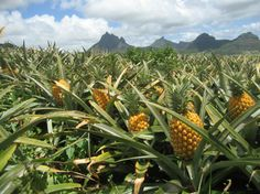 Pineapples are fruits that grow at the center of the pineapple plant.