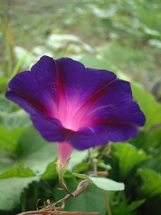 Morning glory (Ipomoea nil L. Roth) I grow these on my fence in my backyard in the summer - they are gorgeous!!!
