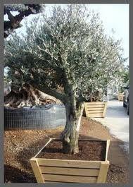 olijfbomen - Google zoeken