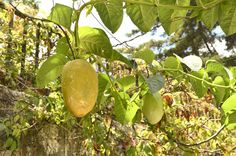 texas pecan trees in fall - Yahoo Image Search Results Texas Pecans, Book Of Genesis, Forbidden Fruit, Lone Star State, Ate Too Much, Lime, Fall, Autumn, Apple