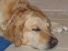 My Golden retriever after bathing - Sturehof Slott Sweden 2004