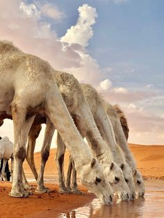 Camels enjoying the fresh rain water collected after the heavy rain,Nov 2018 Animals And Pets, Baby Animals, Cute Animals, Wild Animals, Exotic Animals, Strange Animals, Beautiful Creatures, Animals Beautiful, Beautiful Sky