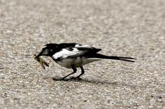 野鳥(捕食) - akiramas27の野鳥撮影!!