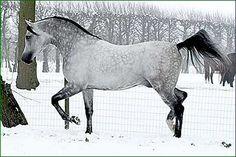 Madras Kossack (NL) 2001 Straight Russian stallion. Adres {Drug x Agata by Gusar} x Mamba {Balaton x Malutka by Salon} Bred by Kossack Stud, NL.