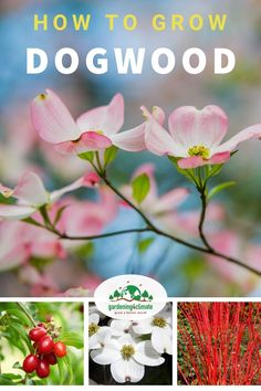 Dogwood shrubs are very versatile and hardy. There are many beautiful varieties available to fulfil your needs. Choose from flowering dogwoods, beautiful Red Twig varieties and fruiting dogwood shrubs. #gardening #gardeningtips #flowergardening #flowergarden #organicgardening #flowers #gardening4climate #gardeningforclimate #plants Dogwood Shrub, Red Twig Dogwood, Dogwood Trees, Dogwood Flowers, Growing Vegetables, Growing Plants, Beautiful Gardens, Beautiful Flowers, Colorful Shrubs