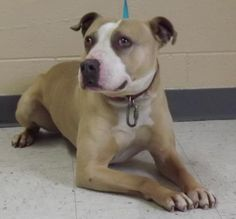 6 / 13     Petango.com – Meet Dayan, a 4 years 4 months Terrier, Pit Bull / Mix available for adoption in MOSES LAKE, WA Address  6725 Randolph Road, MOSES LAKE, WA, 98837  Phone  (509) 762-9616  Website  http://grantcountyanimaloutrea ch.com  Email  GCANIMALOUTREACH@HOTMAIL.COM
