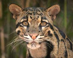 Clouded Leopard Nashville Zoo Photo of the Week By Jan Duke