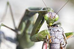 Mantis religiosa.