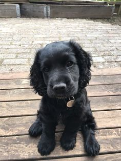 Cute Dogs And Puppies, Baby Dogs, Doggies, Cute Little Animals, Cute Funny Animals, Cockerspaniel, Cute Animal Pictures, Cute Creatures, Beautiful Dogs