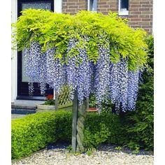 PN1147 Pflanzen - Baum & Strauch - Laubgehölze - Blauregen auf Stamm,1 Pflanze
