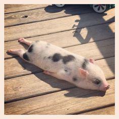 Piggy planking