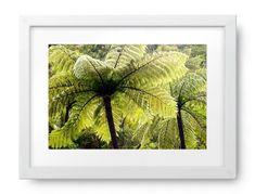 Ponga Tree Fern Canopy, New Zealand Maori Words, Silver Fern, Clear Spring, Tree Fern, Photography For Sale, Ferns, Cactus Plants, Canopy, New Zealand