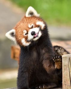 I love cats but i don't think cats are the most beautiful animals.red pandas are more beautiful than cats. Cute Animal Memes, Cute Animal Videos, Cute Animal Pictures, Super Cute Animals, Cute Baby Animals, Funny Animals, Red Panda Cute, Panda Love, Panda Mignon