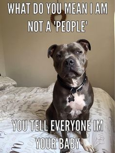Pit Bull is a type of dog breed which are admire by Dog Lovers. Pit Bull have friendly nature and they will easily adapt yourself. This quality of Pit Bull is a reason why this breed is loved by everyone. Lets take a look at top 28 Dog Memes Pit Bull Funny Dog Memes, Funny Animal Memes, Funny Animal Pictures, Funny Dogs, Funny Animals, Cute Animals, Baby Animals, Pet Memes, Funny Pitbull