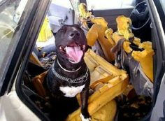 Some Dogs Really Love Being Left In The Car!  http://techmash.co.uk/2014/06/19/some-dogs-really-love-being-left-in-the-car/ #dogs #car #seats #damage