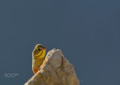 Ortolan Bunting - A summer visitor on Crete