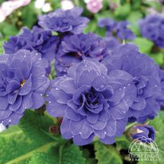 ❀ How to Select and Plant Perennials. (Includes a Hardiness Zone Chart.) ❀ How to Select and Plant P Best Perennials, Flowers Perennials, Planting Flowers, Flower Gardening, Organic Gardening, Blue And Purple Flowers, Light Pink Flowers, Garden Ideas Canada, Flowers Canada